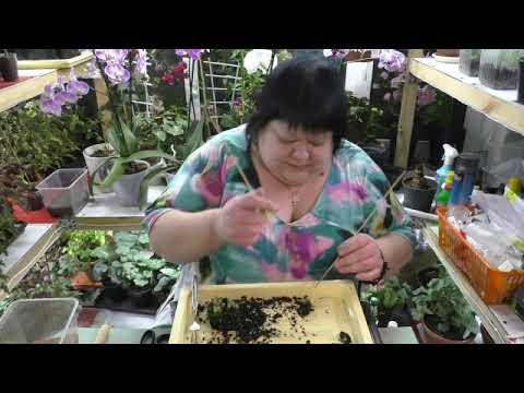 выращиваю кактусы из семян