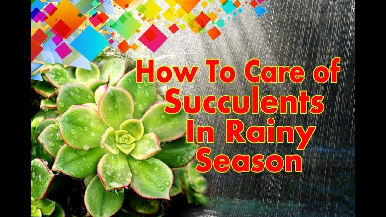 How To Care Succulent Plants In Rainy Season Youtube
