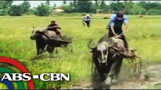 UKG: Carabao racing in Nueva Ecija