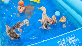 Monkey Sam & duckling swimming in the pool are funny