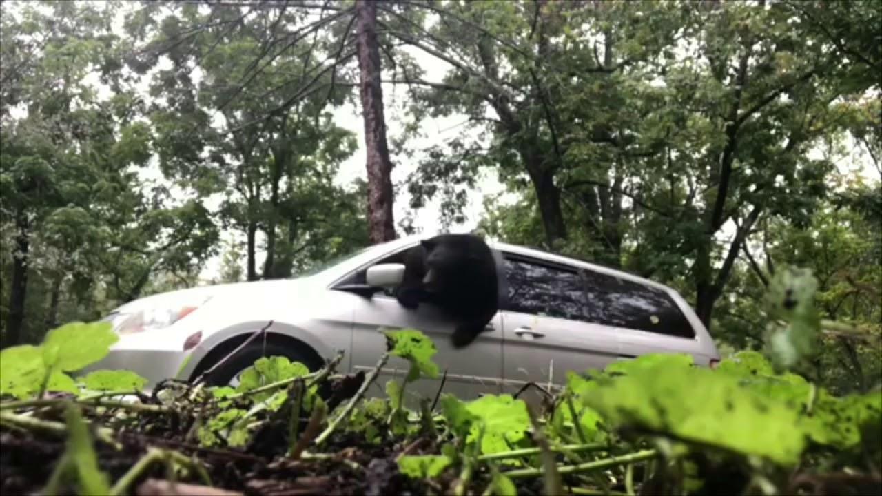 熊が車内に侵入し窓を破壊する映像