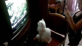 Кошка Жуля смотрит телевизор.