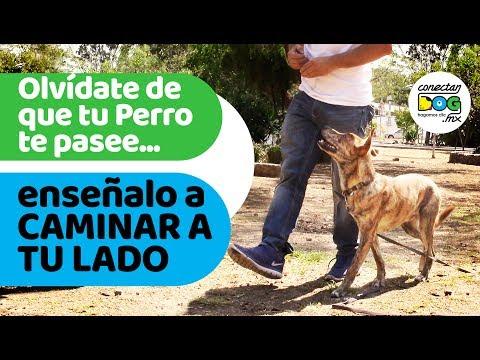 Cmo entrenar a tu Perro/Cachorro: Caminando Junto