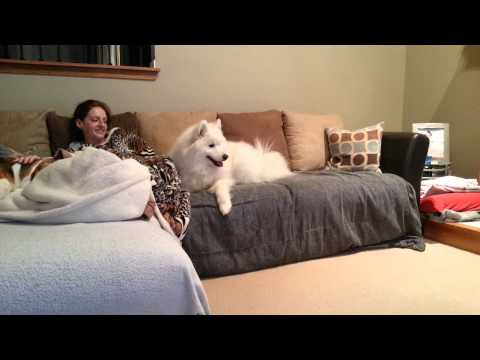 Lexi the Samoyed howling at tv