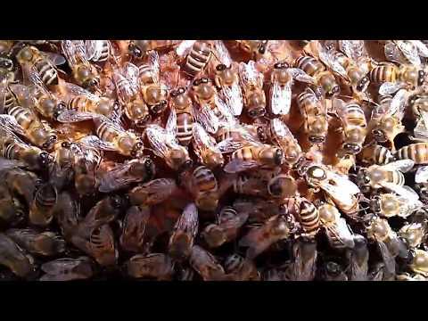 Пчелы - осмотр и подкормка (Пчеловодство на примере)