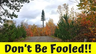 DON'T BE FOOLED - Tallest Pine Tree in Northern Ontario?