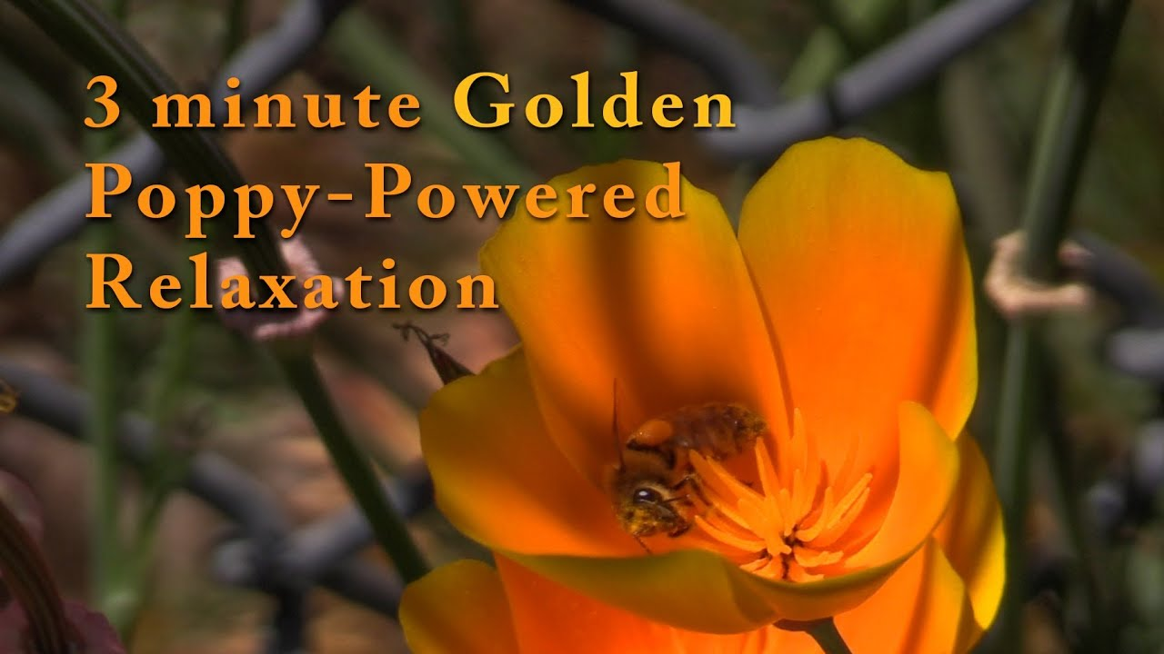 3 Minute Golden Poppy Powered Relaxation Youtube