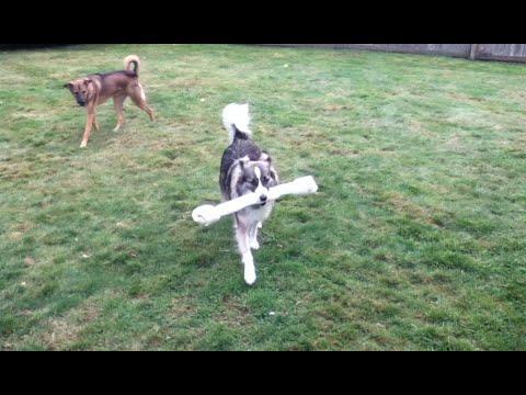 Australian Shepherd Mix and Giant Rawhide Bone