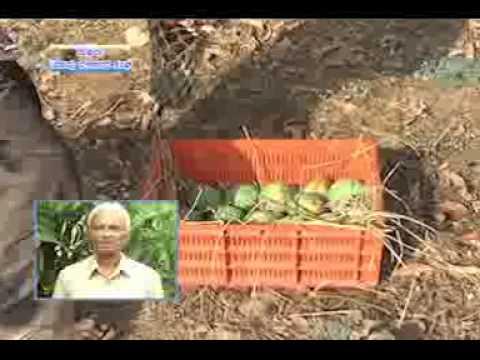 25-04-13 suffala mango produrcers society dr c j savanuramatta