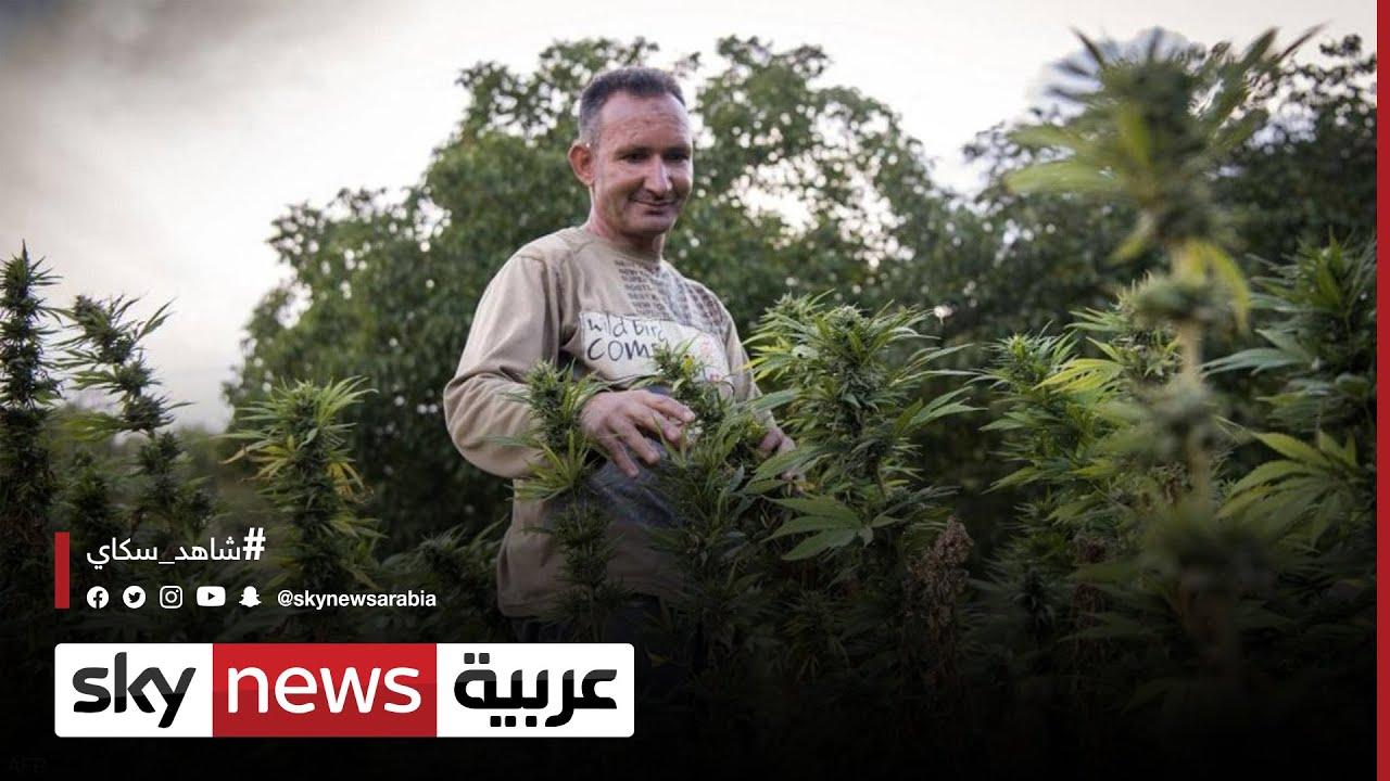 المغرب.. فرص استثمارية واعدة بعد تقنين زراعة القنب الهندي  - نشر قبل 17 دقيقة