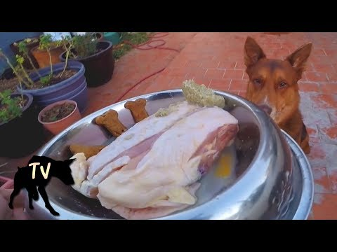 German Shepherd Kelpie Mix Eating Chicken Carcass | Raw Feeding Vlog