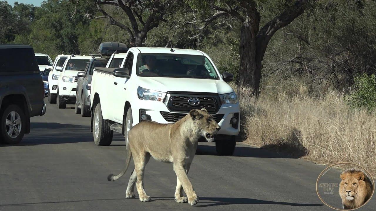 Lets Follow A Lioness In Heat