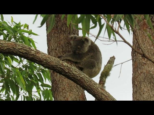 Smokey koala joey