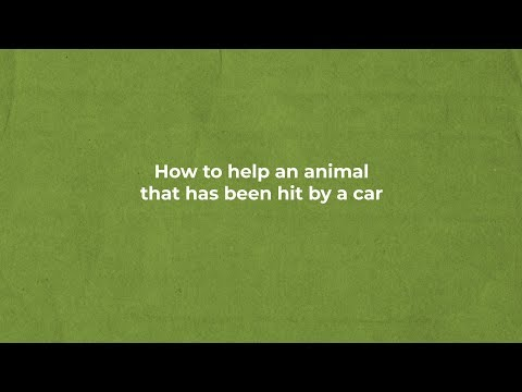 HOW TO HELP AN ANIMAL THAT'S BEEN HIT BY A CAR