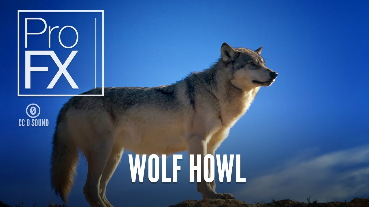 Wolf howl sound effects ~ royalty free wolf howl sounds | pond5.