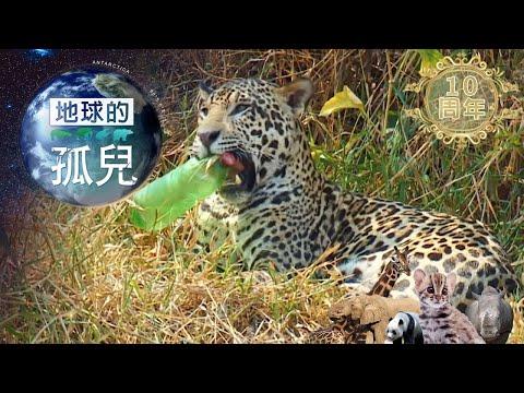 (網路搶先版)地球的孤兒~貓的消失,搶救瀕危美洲豹 Saving Jaguar: The King Of The Jungle-台灣1001個故事-20200119【全集】|白心儀