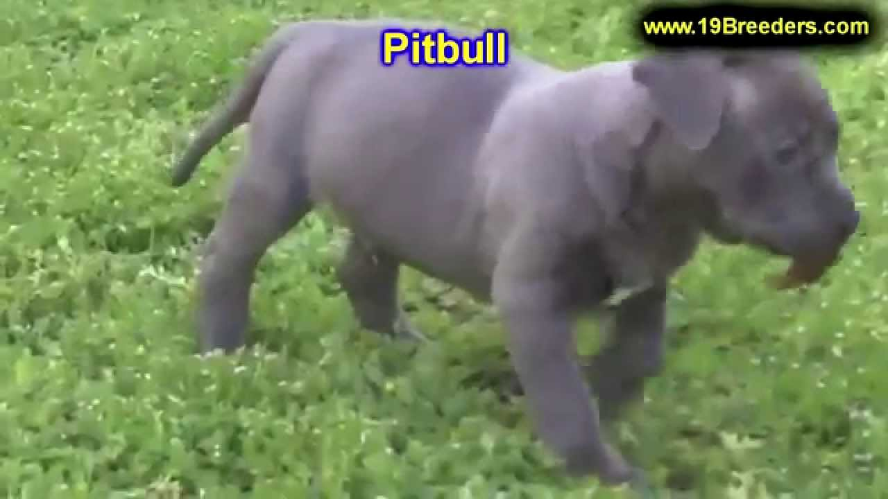 Pitbull puppies for sale in indiana - Pitbull Puppies Dogs For Sale In Louisville Kentucky Ky 19breeders Bowling Green Youtube
