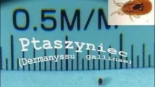 Ptaszyniec  (Dermanyssus gallinae)