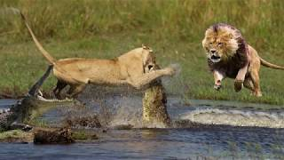 Crocodile is King Swamp! Two Male Lion Protect Yourself From Crocodile In River