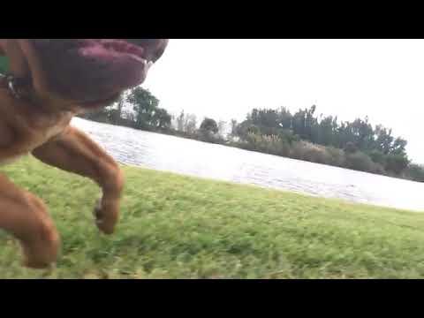 Xzibit de Stout aka Clyde!!! Big head French mastiff