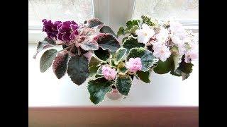 Пестролистные фиалки! Счастье в цветах! Моя коллекция.