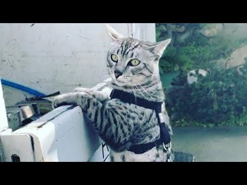 Taking a Walk With Egyptian Mau Cat Leo