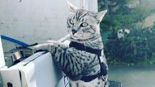Taking a Walk With Egyptian Mau Cat Leo : Mau Egipcio