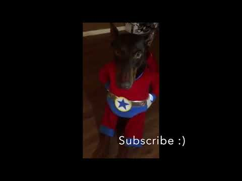 Superhero Doberman Costume - Getting Ready For Halloween Treats
