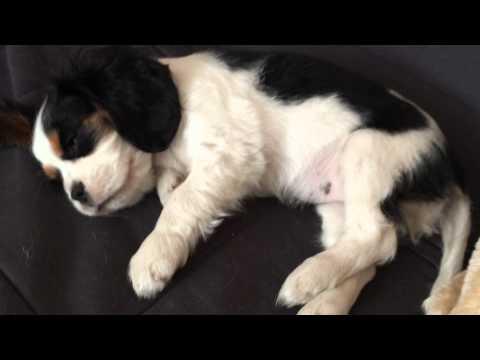 Cavalier King Charles Spaniel dreams (8 weeks old)