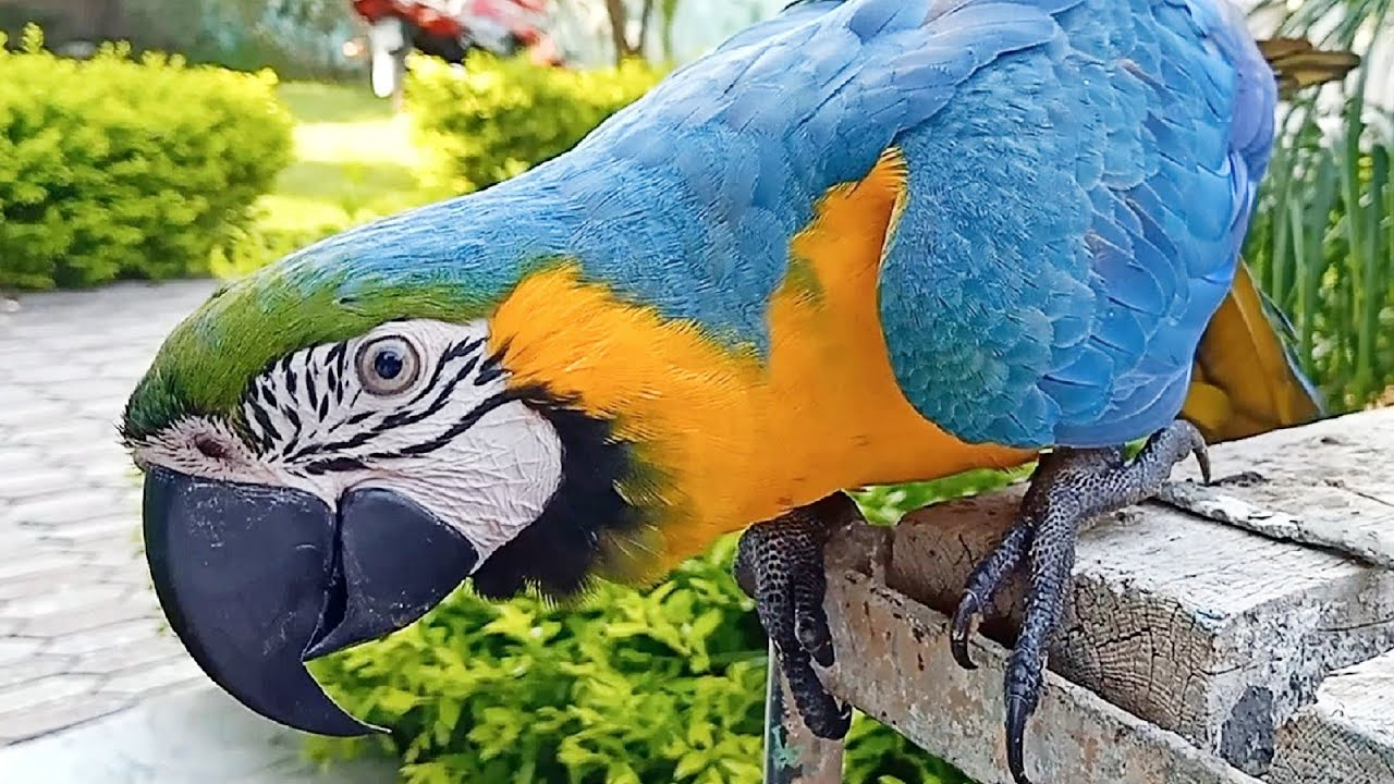 Talking Blue and Gold Macaw