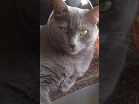 Philosophical Horton our 7yr old beautiful Korat cat