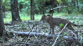 Indiana Bobcat encounter- Ol Boys Outdoors