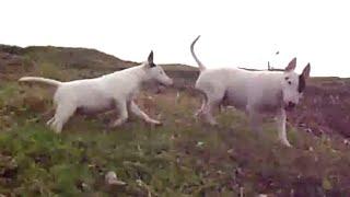 Cute Bull Terriers Running Uphill