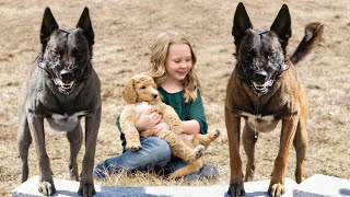 These Are 10 Best Protection Dog Breeds