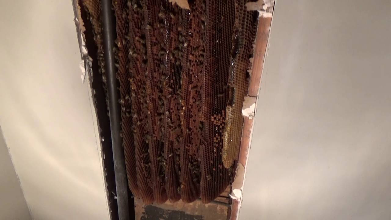 Big Bee Hive In Wall Of A Living Room Youtube