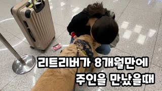 Kolden (Korean Golden) Retriever reacts to meet his sister at the Airport