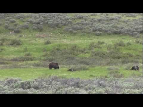Backcountry Encounter with the grizzly bear called Quad Mom of Yellowstone