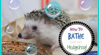 How To Bath Your Hedgehog!