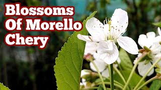 Morello Cherry: How The Blossoms Look Like?