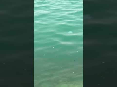 Jelly Blubber Blue( Jellyfish)