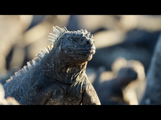 The Marine Iguana | A Perfect Planet | BBC Earth
