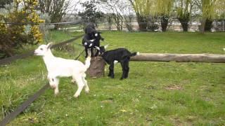 Chevreaux chèvre des fossés jouent 2012 03