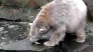 Cute Knut gets food