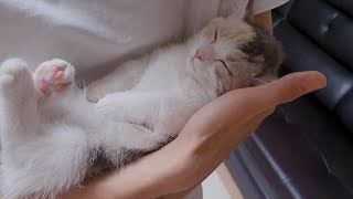 My kitten can Sleep only when Shes in Humans Arms // 사람 품에 안겨야만 잠이드는 아기고양이