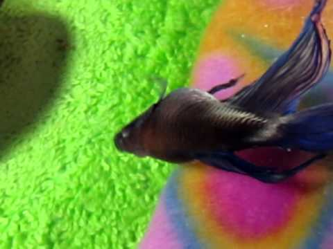 My betta with dropsy after 3 months youtube for Betta fish dropsy