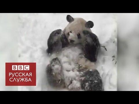 Гигантская панда радуется снегу в Вашингтоне