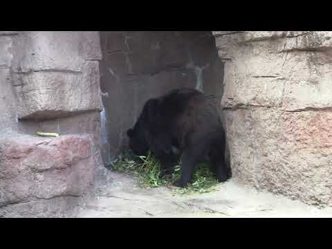 #16 Sep 2017 Asian black bear at Tennoji zoo, Osaka, Japan
