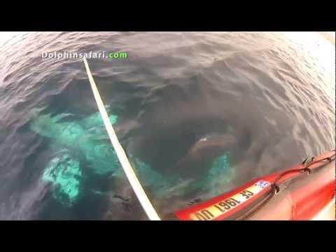 Dramatic 24-hour Gray Whale Rescue off  Laguna Beach, CA