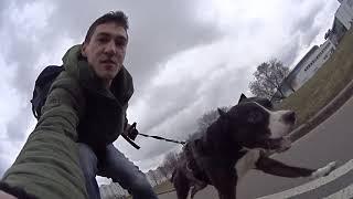 Дрессировка собак в Минске || Риддик Американский Питбультерьер | Онлайн дрессировка собак