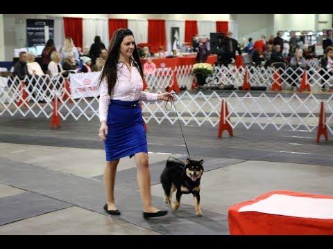 2018 Dog Show - Blue vs his Can Grand Champion Sire Benji